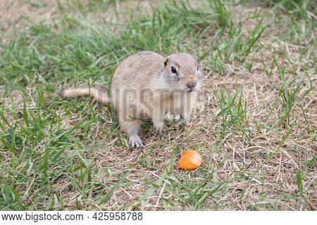 Wild Gopher With Carrot. A Groundhog Sitting At Its Burrow On Grass
