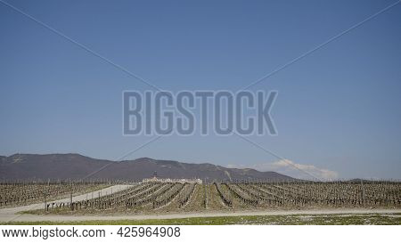 Panorama Of Grape Field. Action. Agricultural Fields With New Seedlings Of Vineyards For Winemaking.