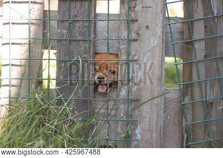 A Small Pomeranian Dog Of A Bright Orange Color Sits Behind An Iron Net Behind The Fence And Looks T