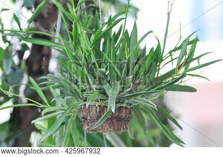 Dischidiopsis, Conchophyllum Philippinense Or Marsdenia Parasitica Or Dischidia Philippines Plant