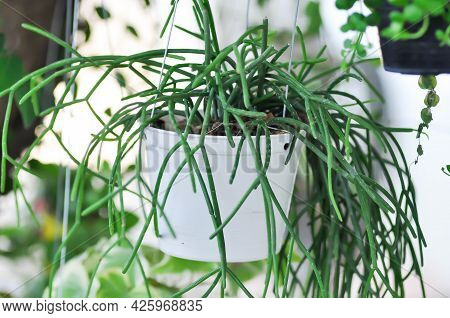 Rhipsalis, Rhipsalis Baccifera Or Rhipsalis Cereuscula Plant