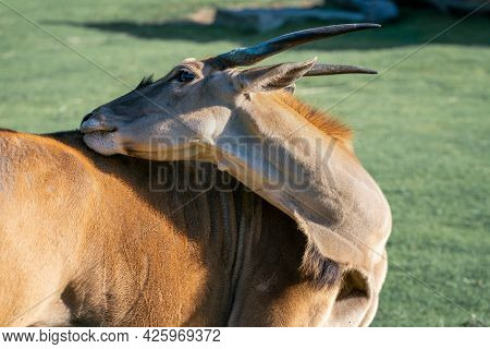 Detail Shot Of Common Eland, Taurotragus Oryx, Scratching Its Own Back With Its Mouth In Bright Suns