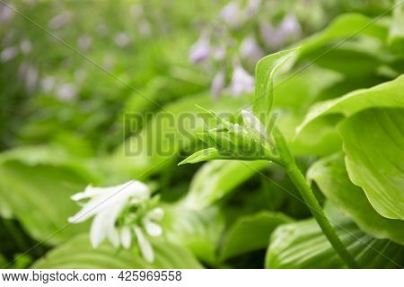 White Hosta Flowers Blooming In A Garden