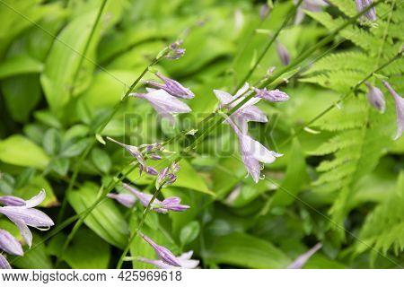Purple Hosta Flowers Blooming In A Garden
