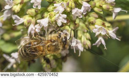 The Bee Collects Nectar From The Flowers