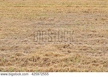 Rice Straw On The Rice Field That Have Been Harvested