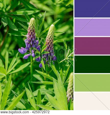 Purple Lupine Flowers Close-up On A Sunny Summer Day. Beautiful Garden Plants Of Russia. A Palette O