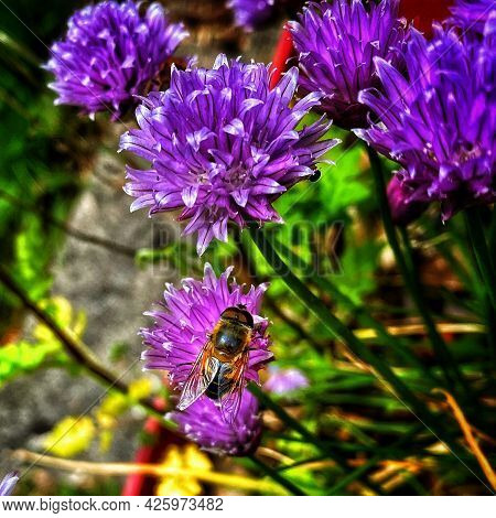 Bee On Purple Chive Flower Green Background