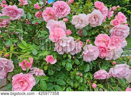 Beautiful blossoming pink roses in summer in the Netherlands