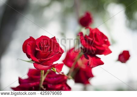 Red Rose Flower Background. Red Roses On A Bush In The Garden, Close-up. Red Rose Flower With Water