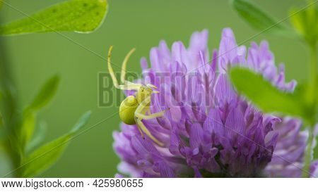 Misumena Vatia. Spider On Red-clover Flower. Blooming Meadow Flower And Yellow Spider. On A Green Ba