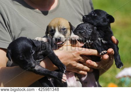 Puppies. Female Holds Puppies In His Arms. Four Dogs Are Looking Into The Camera On The Street. Blac