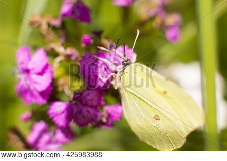 A Butterfly From The Lemongrass Sits On A Flower . Collect Nectar