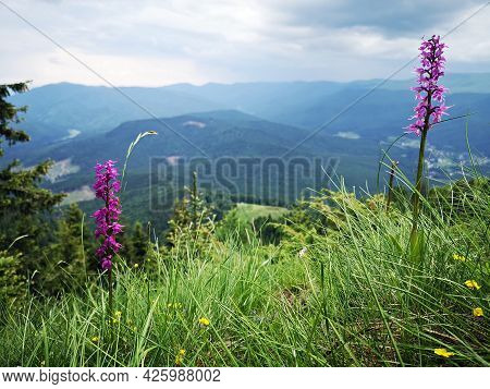 Early Purple Orchid In The Mountains. Alpine Flora. Orchis Mascula (l.) L.  Orchidaceae