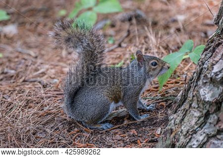 A Squirrel With A Bushy Tail Posing Standing On The Forest Floor While Deciding To Go Up The Tree
