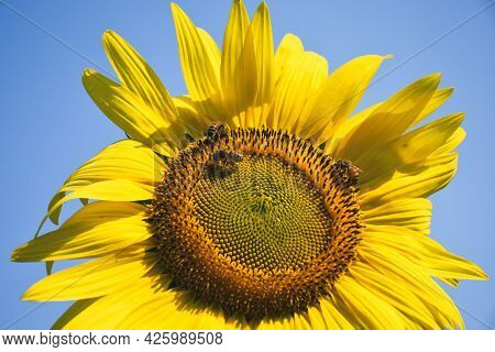 Trio Of Honeybees On A Large Sunflower Face In A Tennessee Countryside