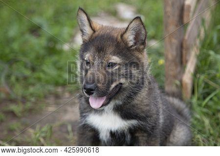 A Husky Puppy. A Small Siberian Husky Puppy, Brown Color.