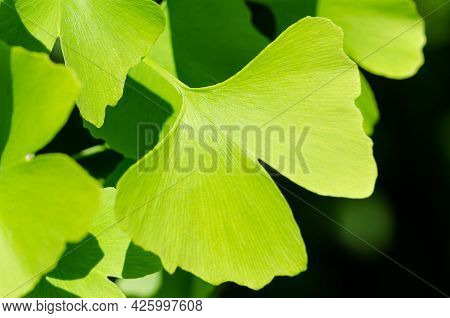 Green Ginkgo Leaf. Ginkgo Biloba, Also Gingko Or Maidenhair Tree, The Official Tree Of The Japanese