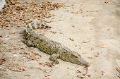 Crocodile in farm in Mekong Delta, Vietnam poster