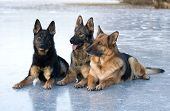 Three German shepherds lying on the blue ice poster