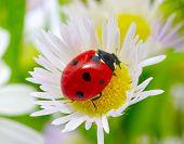 ladybug sits on a flower petal poster