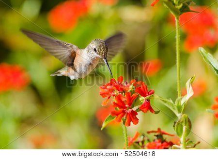 poster of Rufous Hummingbird in flight, feeding on Maltese Cross flowers