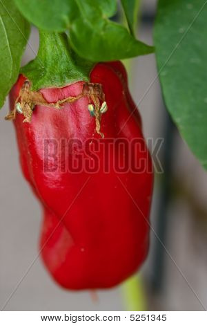 Red Pepper With Seeds