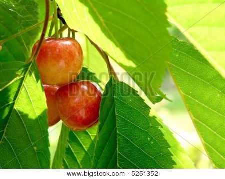 Sweet Cherry Berry