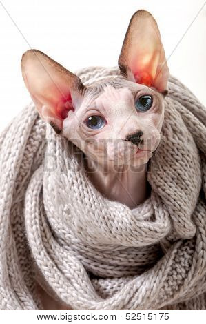 Canadian Sphynx cat wrapped in knitted scarf portrait close-up on white background poster