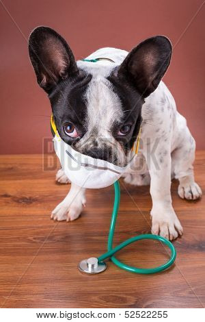 French bulldog wearing a stethoscope and mask like a doctor poster