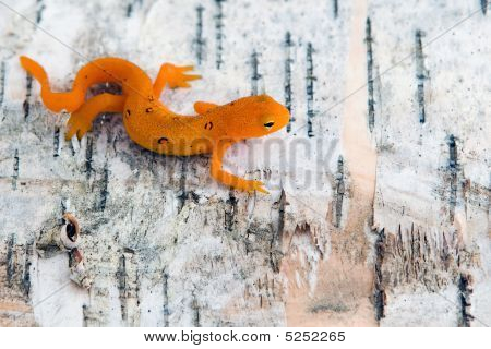 Northern Spotted Newt