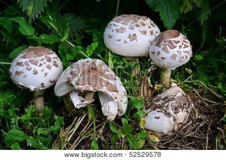 False Parasol Mushroom