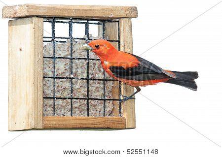 Scarlet Plumage