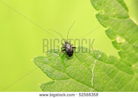 Black Stinkbug Larvae On Green Leaf