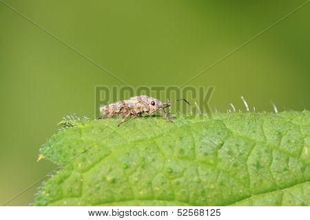 Stinkbug On Green Leaf