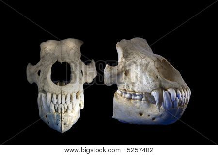 A studio shot of two views of a bear skull poster