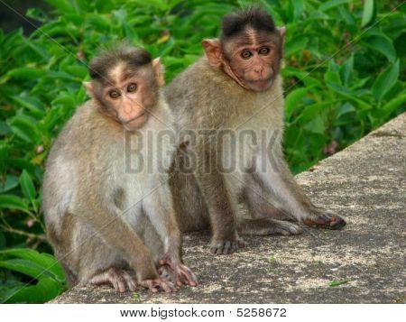 indische-monkeys