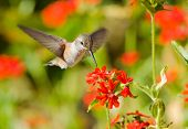 Rufous Hummingbird in flight, feeding on Maltese Cross flowers poster