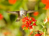 Rufous Hummingbird in flight, feeding on Maltese Cross flowers. poster