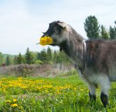 The image of a goat chewing a bunch of dandelions poster
