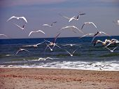 seagulls in flight poster