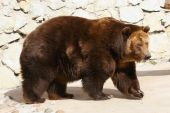 Brown bear walking around at a zoo poster
