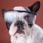 French bulldog wearing safety glasses poster