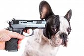 Gun pointed at sad french bulldog head over white background poster