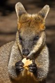 Photo of a joey(young wallaby) eating food and dropping some crumbs poster