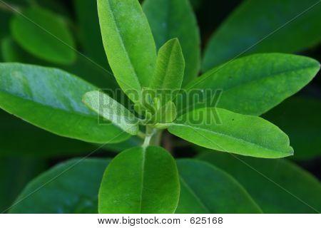 Green Bush Leaves