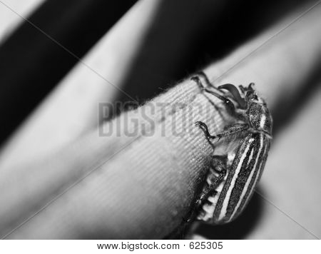 BW Striped June Bug