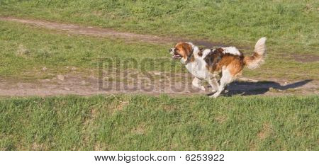Saint Bernard dog running outdoors.Shot with Canon 70-200mm f/2.8L IS USM poster