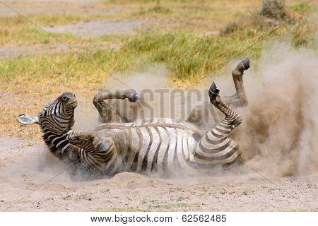 Plains zebra (Equus burchelli) rolling in dust, Amboseli National Park, Kenya
