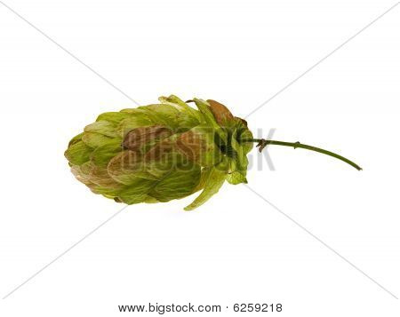 The Green Cone Of Hop